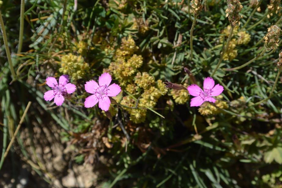 """2015年7月 『アルプス、エクラン国立公園に咲く花々』 July 2015 \""""Flowers in Des Ecrins of the Alps\""""_c0219616_1846676.jpg"""