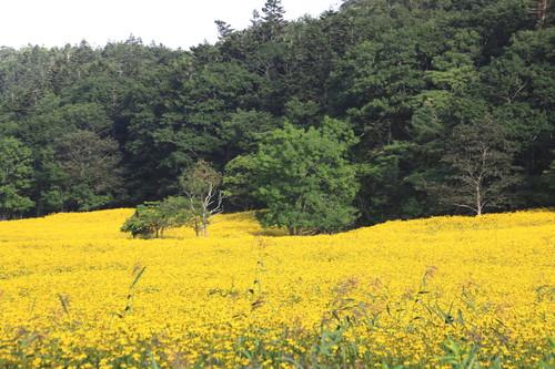 黄色の花畑なんだけど 9月2日_f0113639_1526041.jpg
