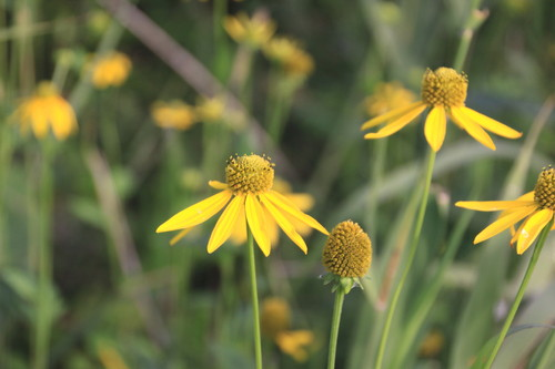 黄色の花畑なんだけど 9月2日_f0113639_15263959.jpg
