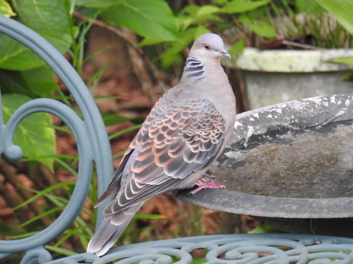 繰り返された鳩の悲劇 Doves\' Tragedy Again_f0268294_20075462.jpg