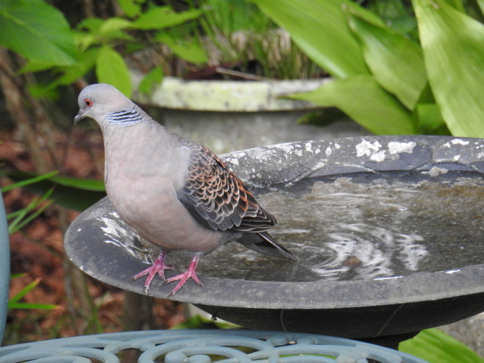 繰り返された鳩の悲劇 Doves\' Tragedy Again_f0268294_20122384.jpg