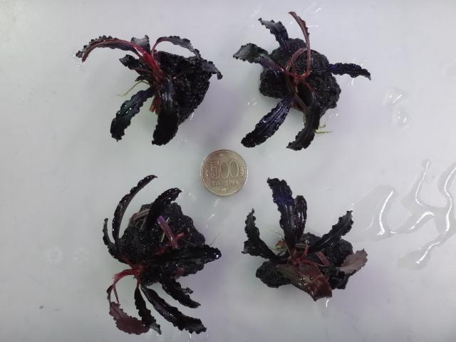 150903 熱帯魚・金魚・淡水魚・水草・観葉植物_f0189122_1313076.jpg