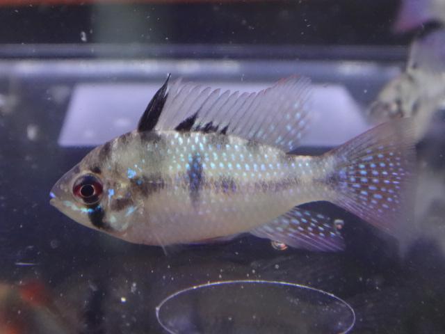 150903 熱帯魚・金魚・淡水魚・水草・観葉植物_f0189122_136720.jpg