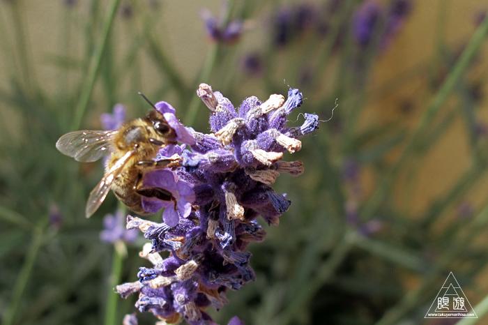 461 Sainte-Marie-aux-Mines ~フランスのミツバチ~_c0211532_23375340.jpg