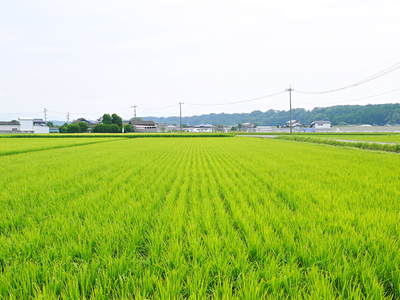 七城米 長尾農園 美しすぎる田んぼにお米の花が咲きました(2015年)_a0254656_17493246.jpg