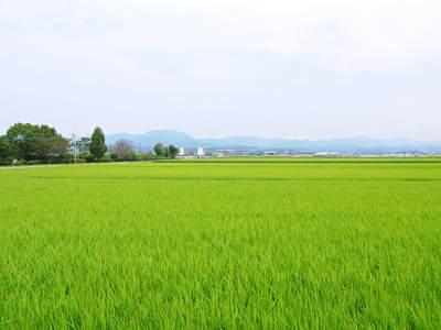 七城米 長尾農園 美しすぎる田んぼにお米の花が咲きました(2015年)_a0254656_17515865.jpg
