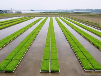 七城米 長尾農園 美しすぎる田んぼにお米の花が咲きました(2015年)_a0254656_18212168.jpg