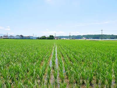 七城米 長尾農園 美しすぎる田んぼにお米の花が咲きました(2015年)_a0254656_18303526.jpg