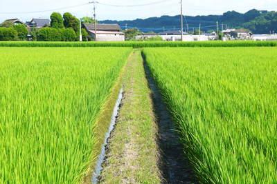 七城米 長尾農園 美しすぎる田んぼにお米の花が咲きました(2015年)_a0254656_18354895.jpg
