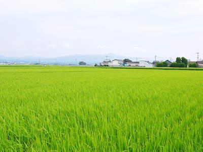 七城米 長尾農園 美しすぎる田んぼにお米の花が咲きました(2015年)_a0254656_1848221.jpg