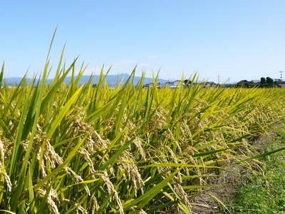 七城米 長尾農園 美しすぎる田んぼにお米の花が咲きました(2015年)_a0254656_1854516.jpg