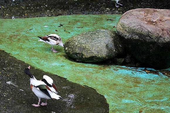 鳥舎の水浴びプール掃除前