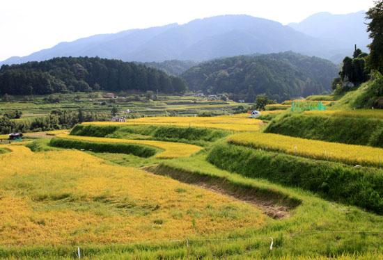 棚田の稲刈り_e0048413_2013388.jpg