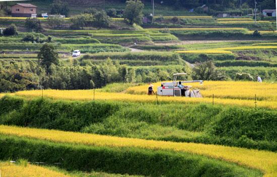 棚田の稲刈り_e0048413_2025688.jpg