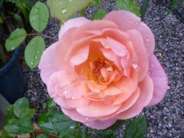 薔薇が咲き始めました_f0032332_19291863.jpg