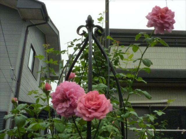 薔薇が咲き始めました_f0032332_19292156.jpg