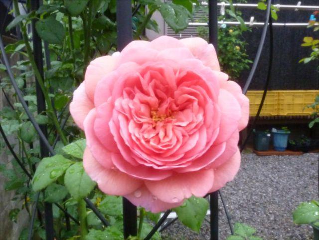 薔薇が咲き始めました_f0032332_19293055.jpg