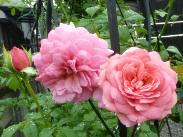薔薇が咲き始めました_f0032332_19293354.jpg