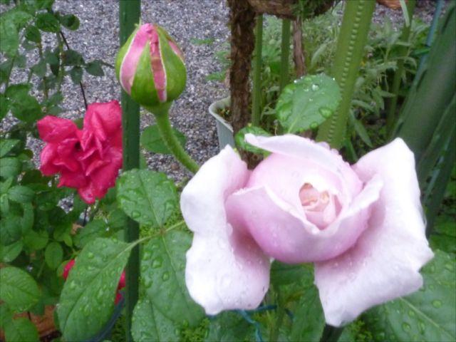薔薇が咲き始めました_f0032332_1929796.jpg