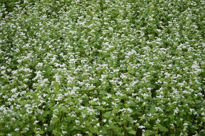 蕎麦の花と蝶 9月5日中信にて_d0254540_8343975.jpg