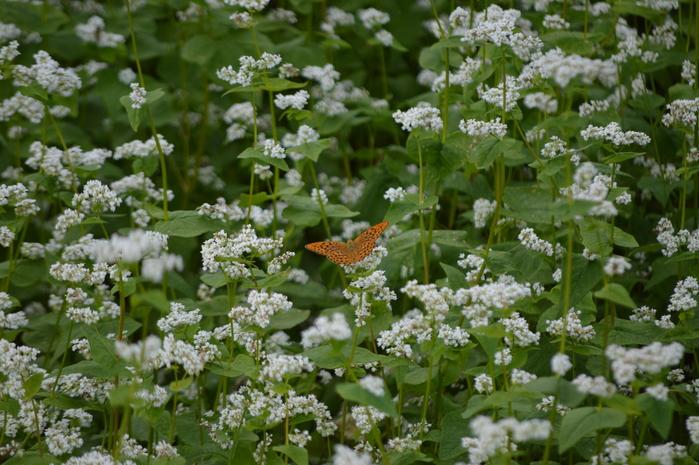 蕎麦の花と蝶 9月5日中信にて_d0254540_8352447.jpg