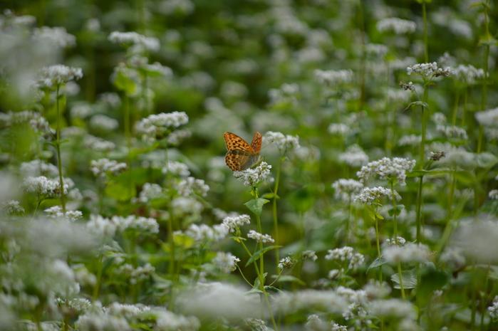 蕎麦の花と蝶 9月5日中信にて_d0254540_8361790.jpg