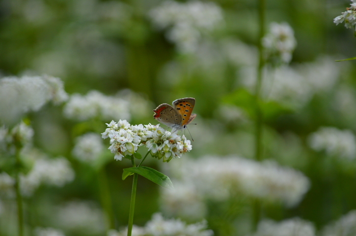 蕎麦の花と蝶 9月5日中信にて_d0254540_8404814.jpg