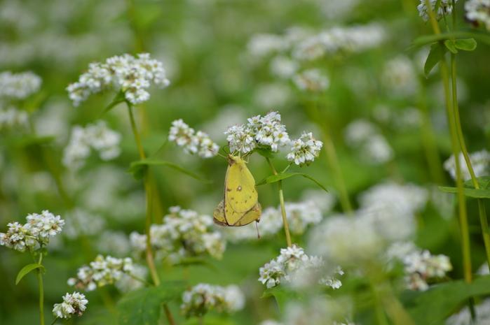蕎麦の花と蝶 9月5日中信にて_d0254540_8415597.jpg