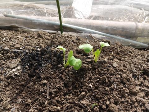 早生玉葱、大根など一斉に発芽、飛騨カボチャ収穫9・3_c0014967_3543593.jpg