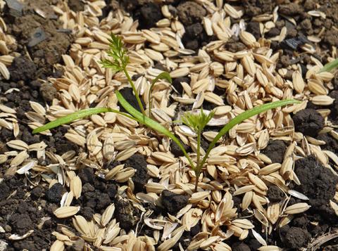 早生玉葱、大根など一斉に発芽、飛騨カボチャ収穫9・3_c0014967_3555128.jpg