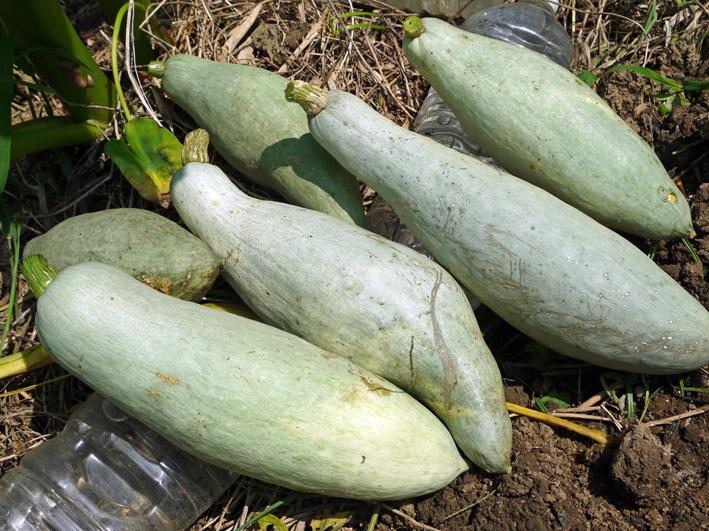 早生玉葱、大根など一斉に発芽、飛騨カボチャ収穫9・3_c0014967_3592782.jpg