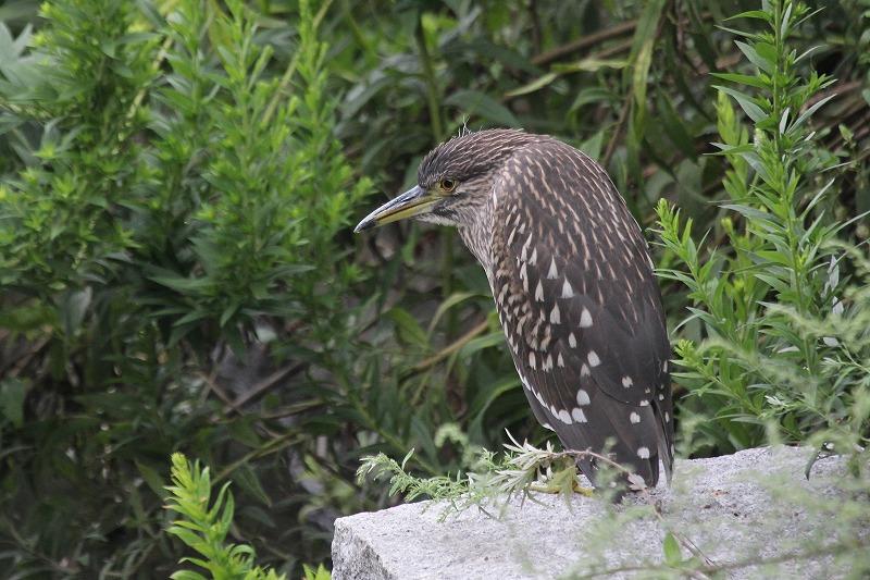 ★少し寂しめの鳥類園でした・・・週末の鳥類園(2015.9.5~6)_e0046474_1730244.jpg