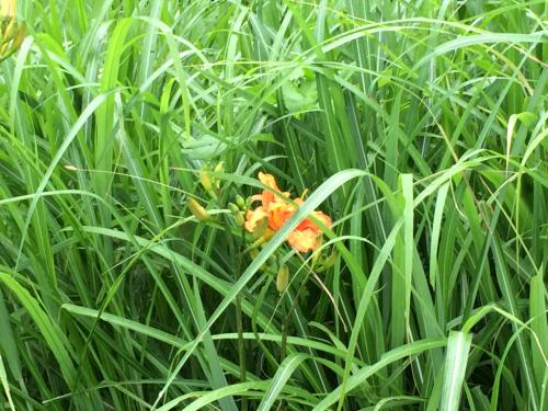 日野春の秋は、稲の黄金から_d0338282_15504400.jpg