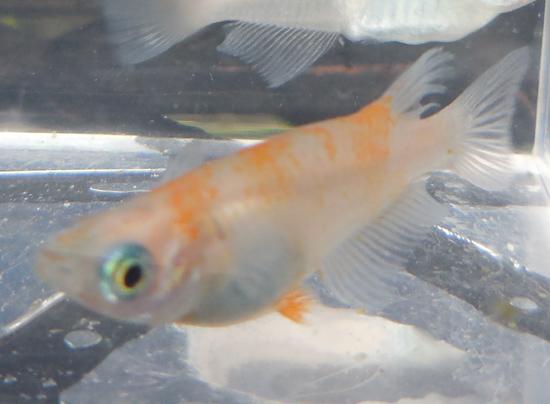 【万葉・紅白】去年生まれの個体、美貌変わらず。_e0097534_15495666.jpg