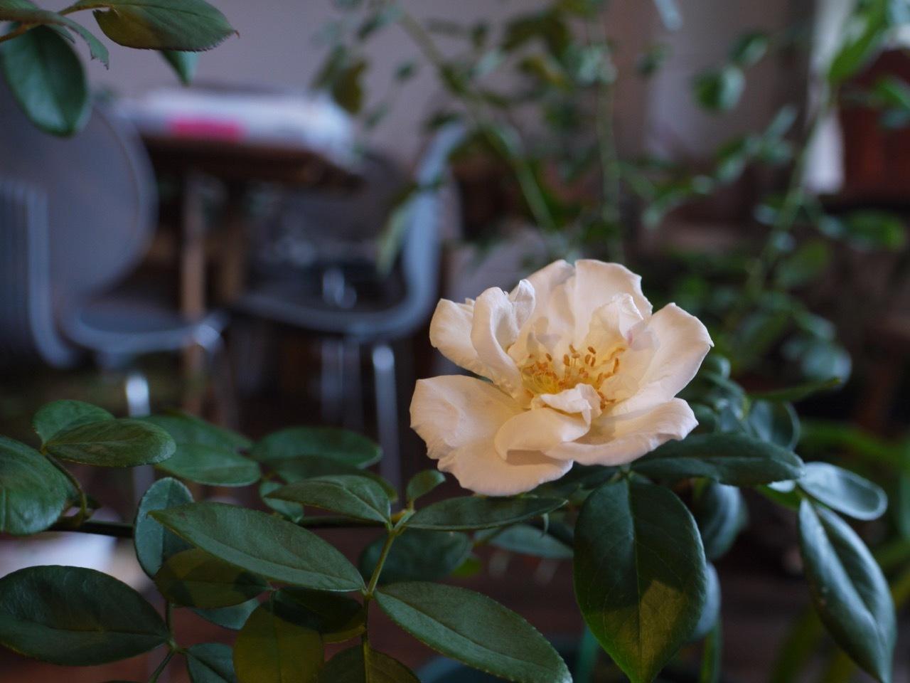 台風の中、バラが咲きました!_e0356356_18075857.jpg