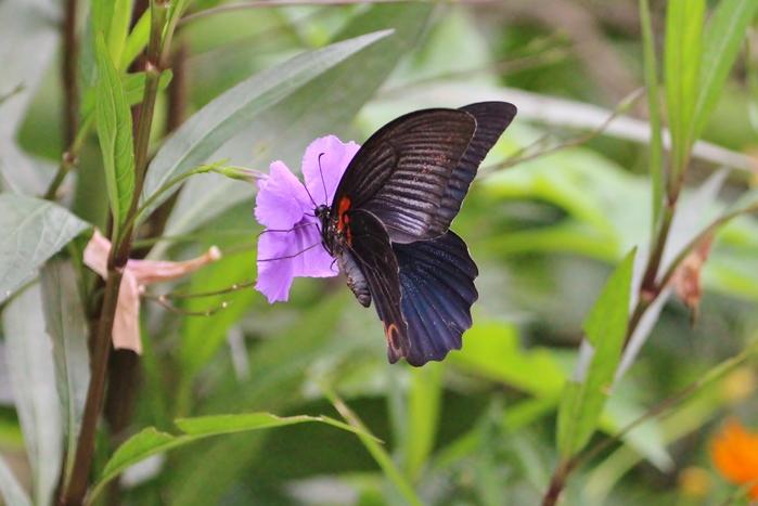 コゲラと、蝶達_f0106759_617183.jpg