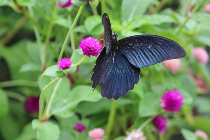 コゲラと、蝶達_f0106759_6174150.jpg
