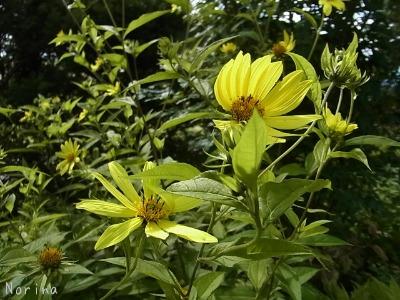 黄色の花、大集合~_e0326953_00565.jpg