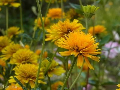 黄色の花、大集合~_e0326953_004728.jpg