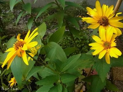 黄色の花、大集合~_e0326953_054152.jpg