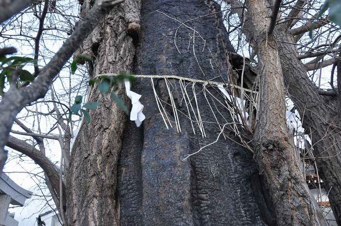 大空襲による被災樹木_c0059854_522384.jpg
