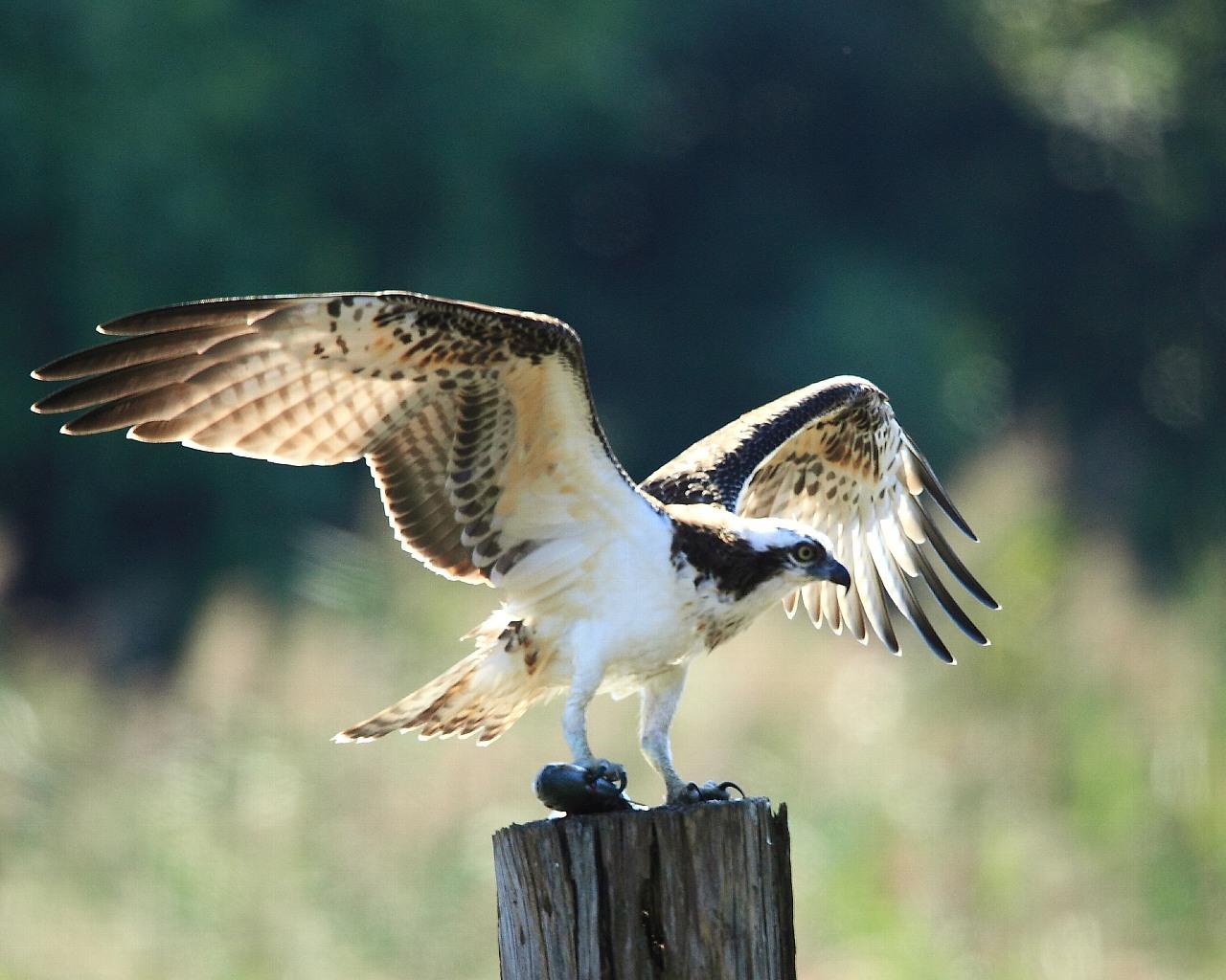 サービスの良いミサゴの若鳥_f0105570_2212618.jpg