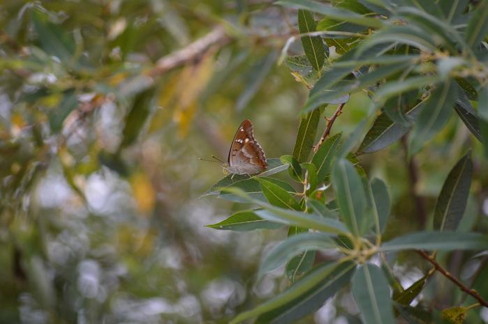 コムラサキ♀の開翅他 9月13日いつもの河川敷にて_d0254540_1982856.jpg