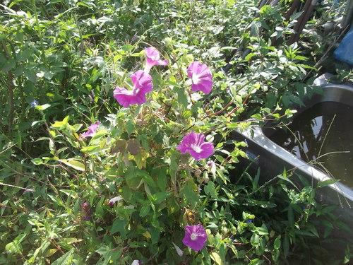 越冬球根野菜の植え付け.._b0137932_2118641.jpg