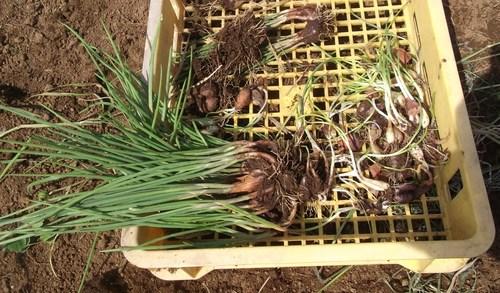 越冬球根野菜の植え付け.._b0137932_21262213.jpg