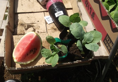 越冬球根野菜の植え付け.._b0137932_21265168.jpg
