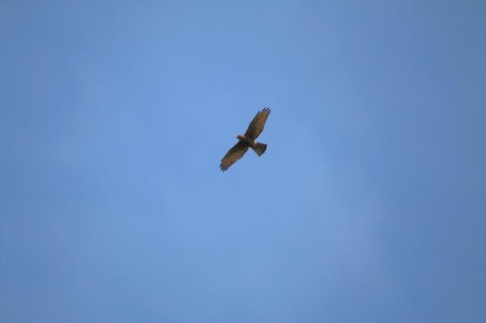 2015.9.15 秋風に遊ぶ・矢倉岳・サシバ他(The hawk is idle for autumn wind)_c0269342_19580357.jpg