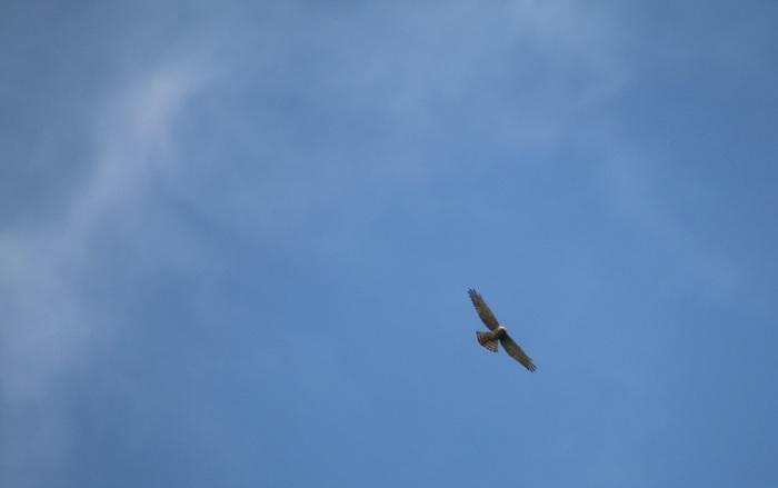 2015.9.15 秋風に遊ぶ・矢倉岳・サシバ他(The hawk is idle for autumn wind)_c0269342_20004453.jpg