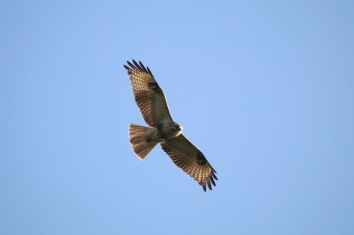 2015.9.15 秋風に遊ぶ・矢倉岳・サシバ他(The hawk is idle for autumn wind)_c0269342_20040616.jpg
