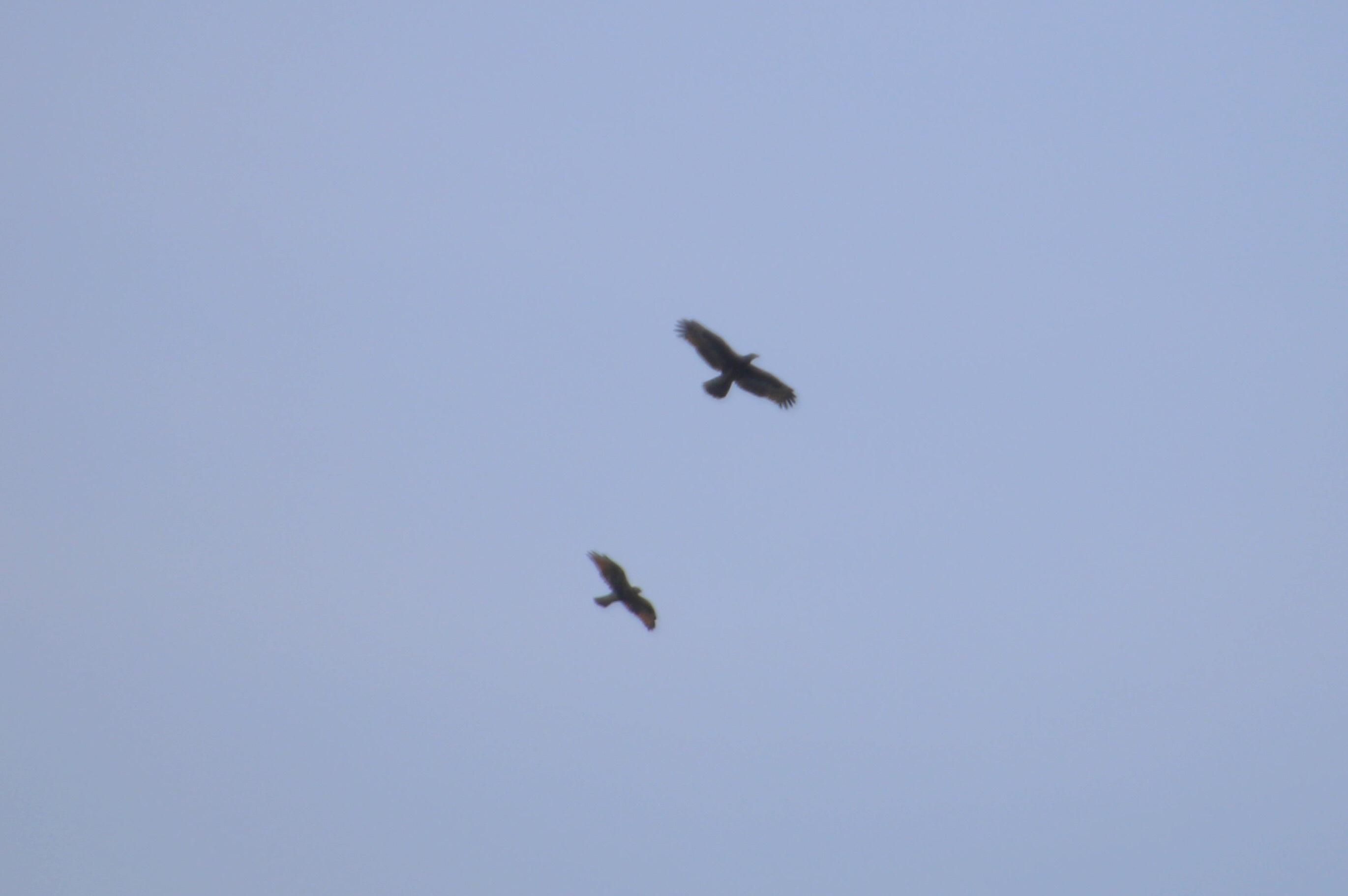 2015.9.15 秋風に遊ぶ・矢倉岳・サシバ他(The hawk is idle for autumn wind)_c0269342_20044148.jpg